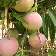 fotos mangos